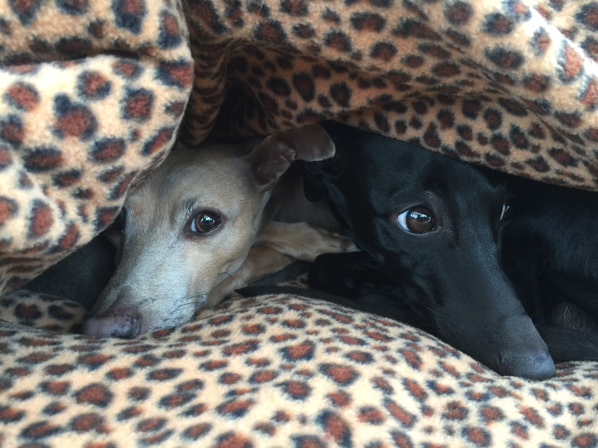 Italian Greyhound Pita Bed in Baby Leopard