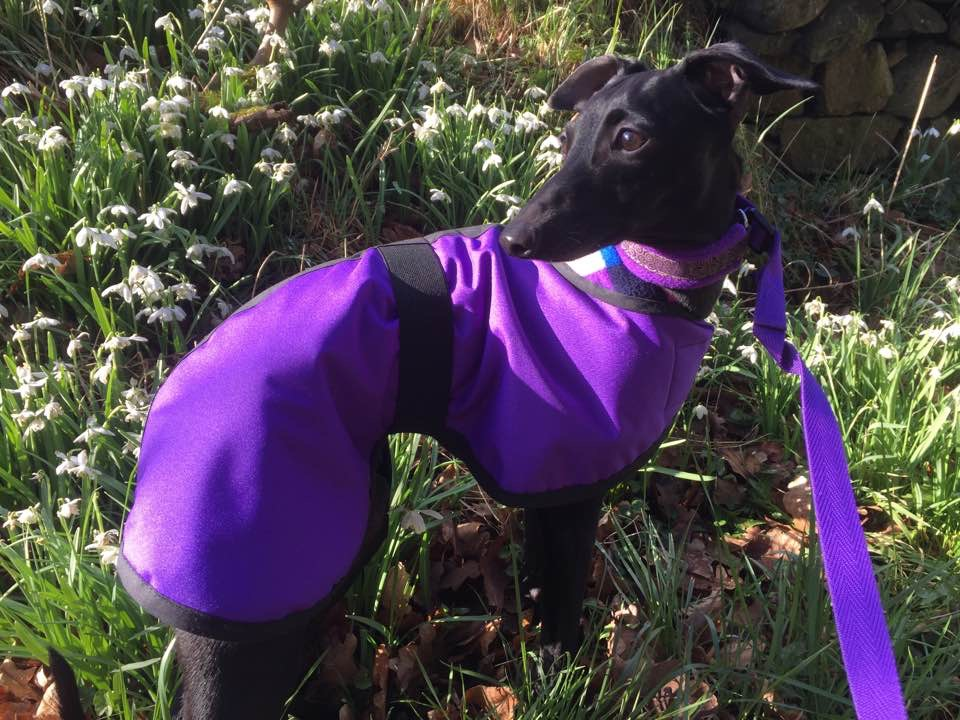 Waterproof Purple Italian Greyhound coat