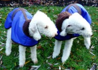 Waterproof-Bedlington-Terrier-coats