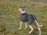 Whippet Puppy Coat backview