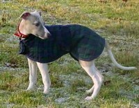 Whippet Puppy Coat