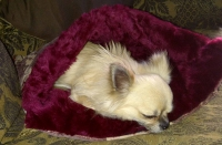 Chihuaha in a  small Cranberry snugglebed